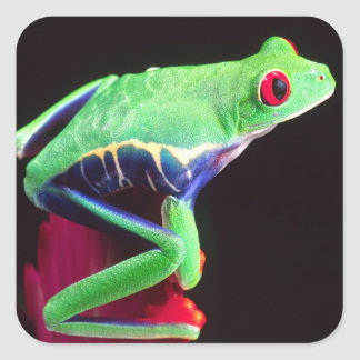 Red Eye Treefrog on a Bromeliad, Agalychinis Square Sticker