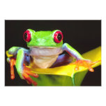 Red Eye Treefrog on a Calla Lily, Agalychnis Photo Art
