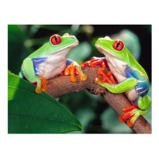 Red Eye Treefrog Pair, Agalychinis callidryas, Postcard