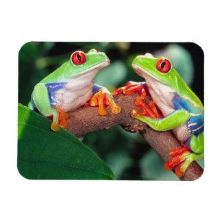 Red Eye Treefrog Pair, Agalychinis callidryas, Rectangular Photo Magnet