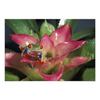 Red-eyed tree frog Agalychnis callidryas) Photo Print
