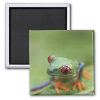 Red-eyed tree frog (Agalychnis callidryas) Square Magnet