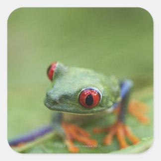 Red-eyed tree frog (Agalychnis callidryas) Square Stickers