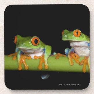 Red-eyed Tree Frogs (Agalychnis callidryas) Coaster