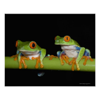 Red-eyed Tree Frogs (Agalychnis callidryas) on Poster