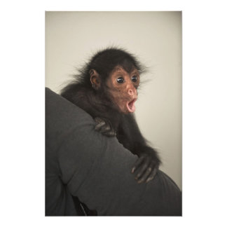 Red-faced Spider Monkey Ateles paniscus) Art Photo