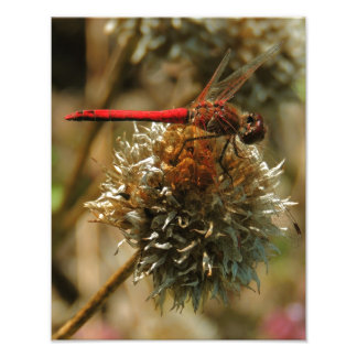 Red Fall Dragonfly Photo