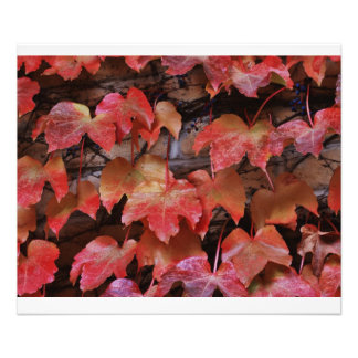 Red Fall leave's shot close up on a vine  PHOTO