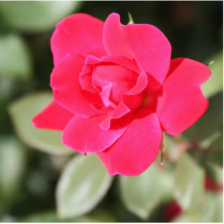 Red Favorite Floribunda Rose Standing Photo Sculpture