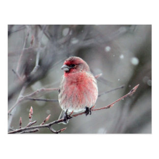 Red Finch Postcard