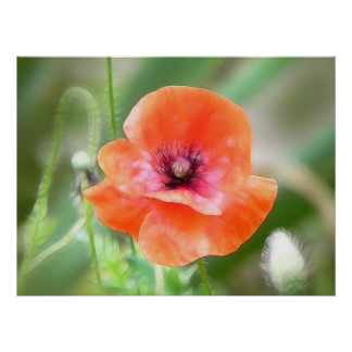 Red Flanders Poppy Poster