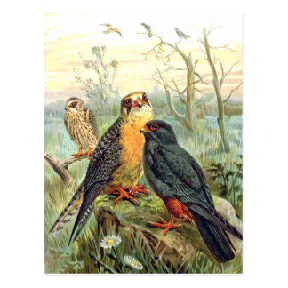 Red-footed Falcon Postcard