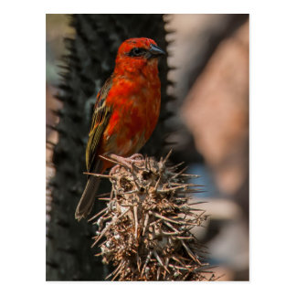 Red Foudy  ( Foudia Madagascariensis ) Postcard
