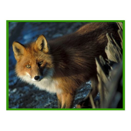 Red Fox at Shipwreck Courtney Ford Post Cards