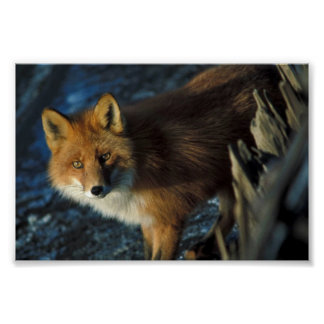 Red Fox at Shipwreck Courtney Ford Poster