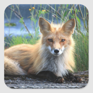Red fox beautiful photo portrait stickers, gift square sticker