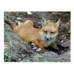 Red Fox - Chillin Post Cards