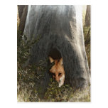 Red Fox in a Tree Gifts and Apparel Postcards