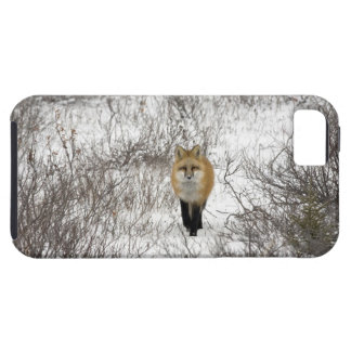 Red Fox in Churchill Manitoba Canada iPhone 5 Covers