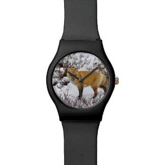 Red Fox in snow in winter Watch