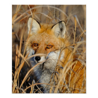 Red Fox In The Weeds Print