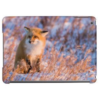 Red Fox in winter Churchill Wildlife