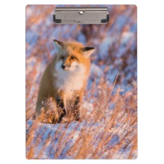 Red Fox in winter Churchill Wildlife Clipboard