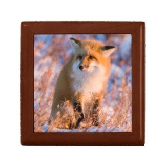 Red Fox in winter Churchill Wildlife Gift Box