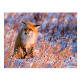 Red Fox in winter Churchill Wildlife Postcard