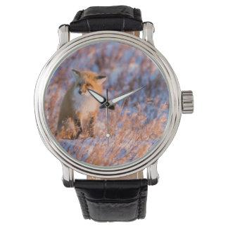 Red Fox in winter Churchill Wildlife Watches