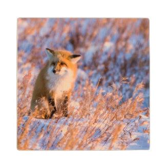 Red Fox in winter Churchill Wildlife Wood Coaster
