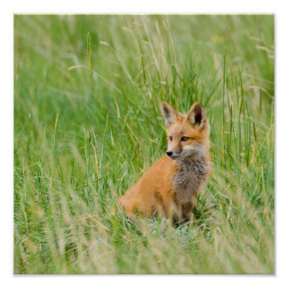 Red Fox Kit in grass near den Poster