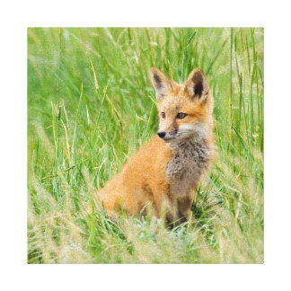Red Fox Kit in grass near den Stretched Canvas Prints