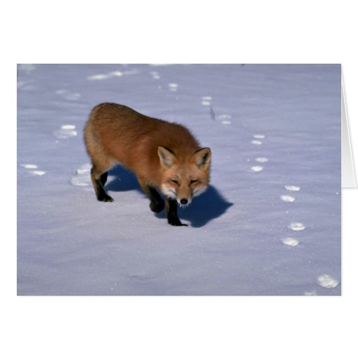 Red Fox on snow Cards