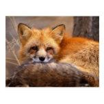 Red Fox Postcards