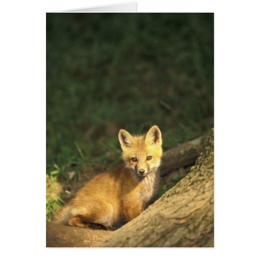 Red Fox pup in front of den (Vulpes vulpes) 2 Greeting Card