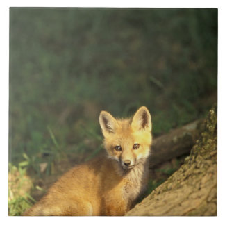 Red Fox pup in front of den (Vulpes vulpes) 2 Large Square Tile