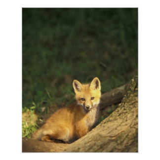 Red Fox pup in front of den (Vulpes vulpes) 2 Poster
