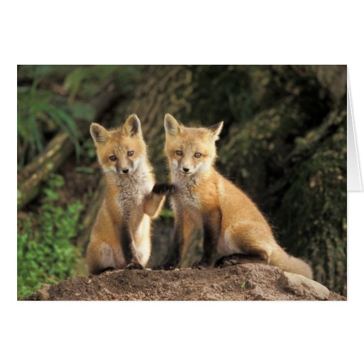 Red Fox pup in front of den Vulpes vulpes) Card
