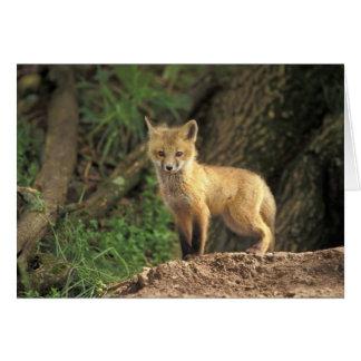 Red Fox pup in front of den (Vulpes vulpes) Card