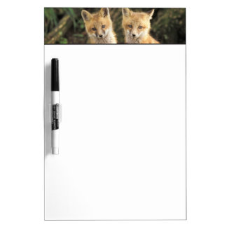 Red Fox pup in front of den Vulpes vulpes) Dry-Erase Board