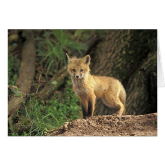 Red Fox pup in front of den (Vulpes vulpes) Greeting Card