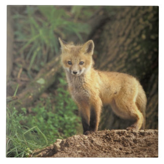 Red Fox pup in front of den (Vulpes vulpes) Large Square Tile