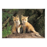 Red Fox pup in front of den Vulpes vulpes) Photographic Print