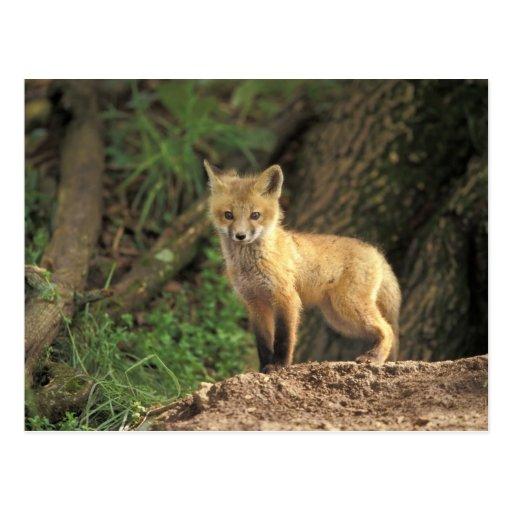 Red Fox pup in front of den (Vulpes vulpes) Post Card