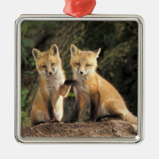 Red Fox pup in front of den Vulpes vulpes) Silver-Colored Square Decoration