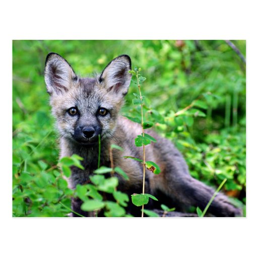 Red Fox Pup Post Cards