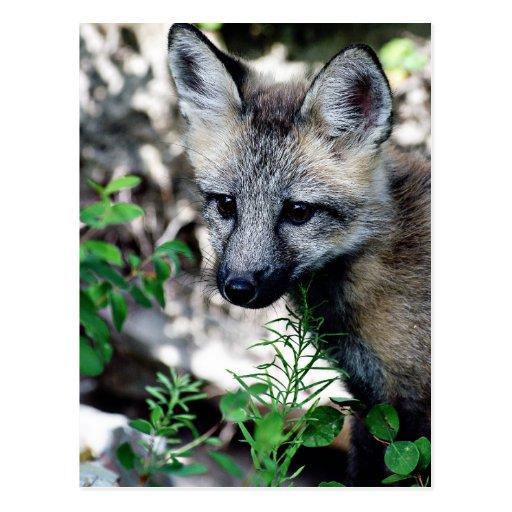 Red Fox Pup Postcard