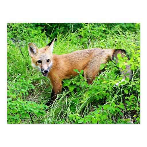 Red Fox Pup Postcard