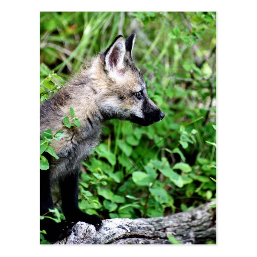 Red Fox Pup Profile Postcards